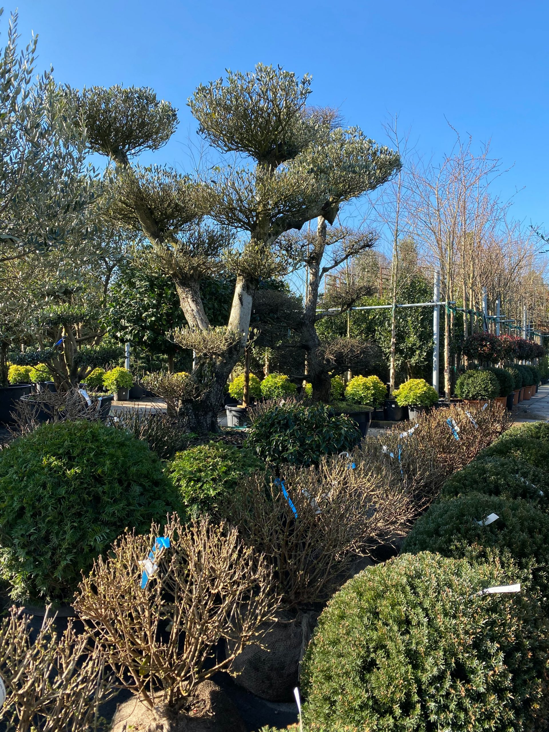 Gardenworld Nurseries-Ireland-Specimen Trees