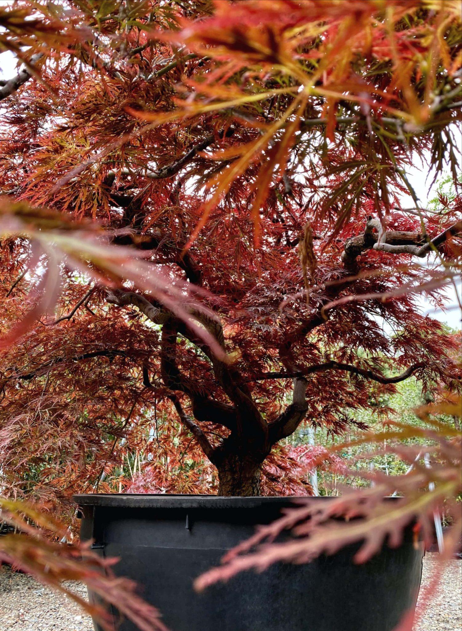 Japanese maple specimen.jpg-pichi@1x