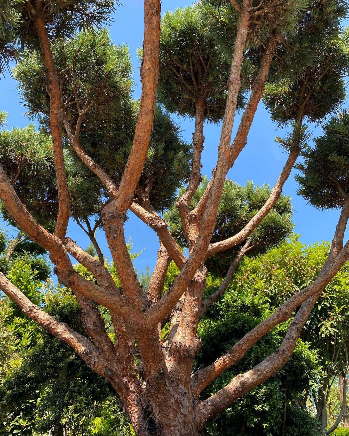 Pinus sylvestris watereri.jpg-pichi@1x