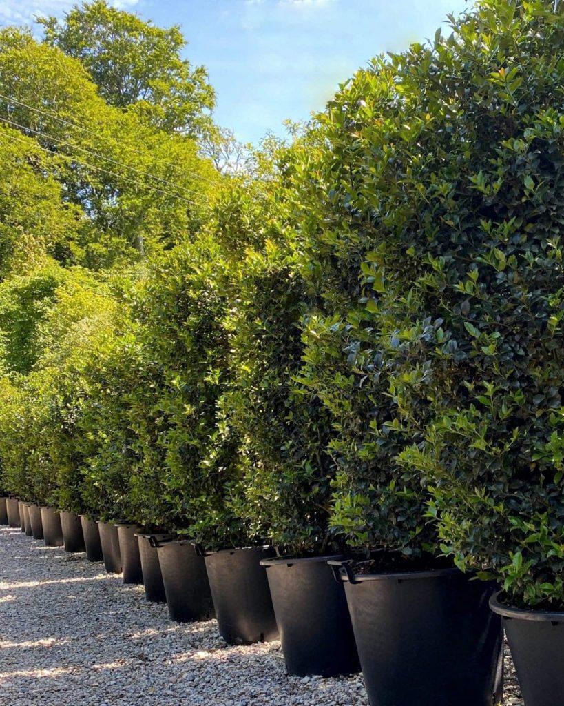 Hedging - Gardenworld Nurseries